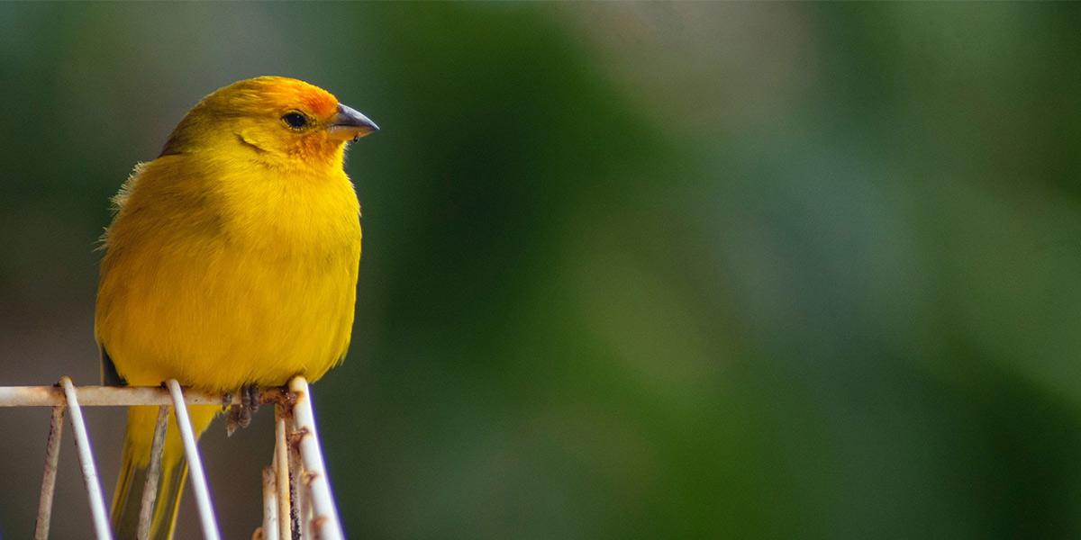 Canary blog