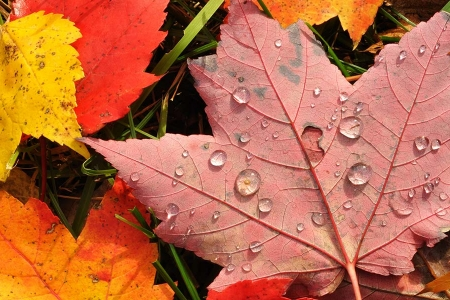 Autumn red leaves with rain drops
