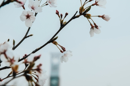 Blossom in with a building in the background