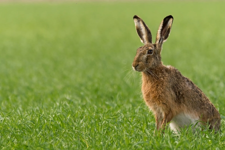 Hare on green field