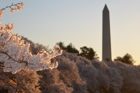 Spring blooms with Washington Monument obelisk in the background